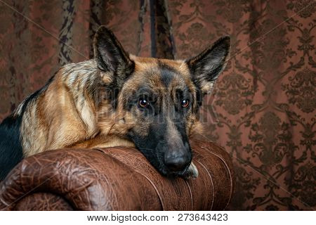German Shepherd Sitting On A Leather Chair. How To Teach A Dog To Order. Pet Spoils The Furniture, T