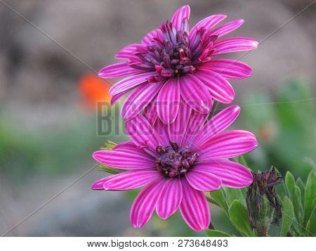 A Purple Daisy In The Turkey Yl Zonguldak