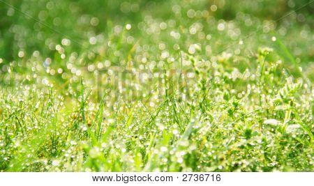 Morning Dew In Grass