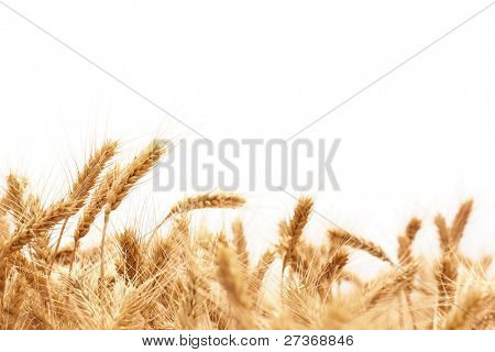 Wheat ears isolated on white.