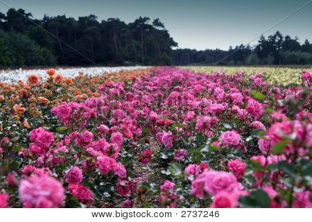 Field of roses in many colours for cultivation. poster