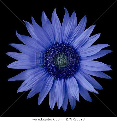 Flower Blue Ultramarine Isolated On A  Black  Background. Close-up.  Nature.