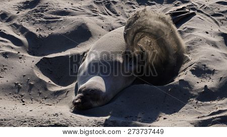 Seal Or Sea Lion Paying In Sand On The Beach, Viewed In Close-up