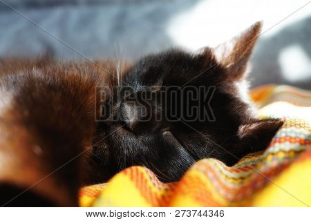 Chocolate Cat Sleeping On The Sofa. A Cat Relaxed And Stretched His Paw Close. A Chocolate Colored C