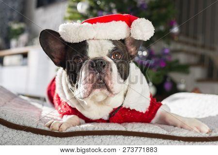 French bulldog in santa costume lying down under the christmas tree