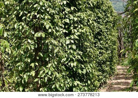 Pepper Plants Growing Under The Hot Tropical Sun On A Pepper Farm In Cambodia