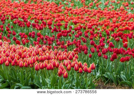 Vibrantly Color Rows Of Flowers In Tulip Field In Netherlands