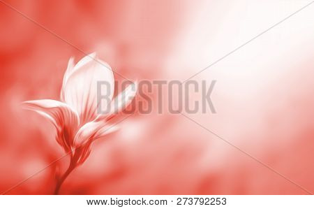 Soft Focus Image In Light Tonality Of Blossoming Magnolia Flower With Copyspace. Abstract Blurred Fl