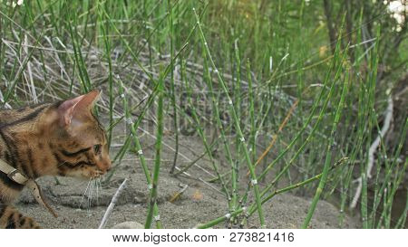 One Cat Bengal Walks On The Green Grass. Bengal Kitty Learns To Walk Along The Forest. Asian Leopard