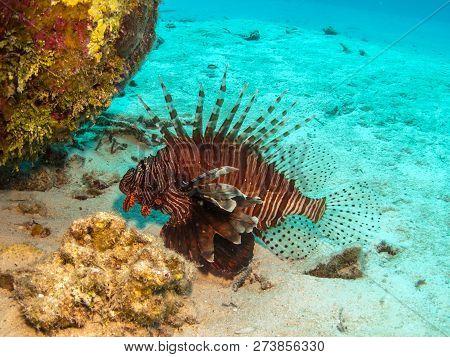 Lionfish In Belize - Invasive Species Threatens Natural Fish