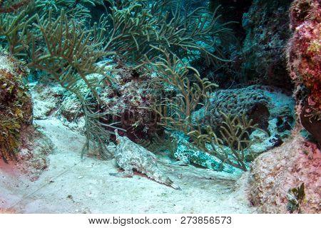 Longnose Batfish - Coral Reef, Placencia Belize