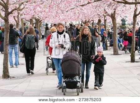 Stockholm, Sweden - April 17, 2014: Family Walking In The Kungstradgarden Park Under The Blooming Ja