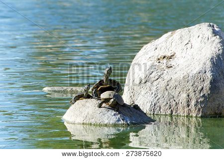 Many Red Eared Slider Pond Turtle Climbing On Rocks In A Pond And Swimming. It Is The Most Popular P