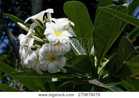 A Bunch Of Frangipani Flowers On The Tree In The Sunshine