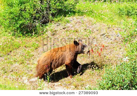 Brown colored black bear looking for berries in Jasper, Canada