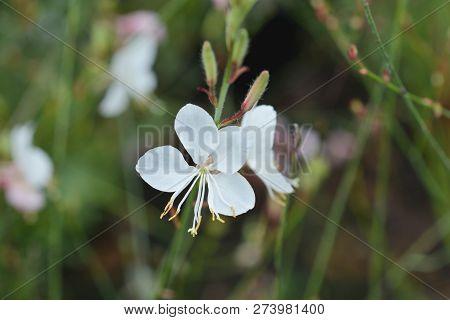 Geyser White Gaura - Latin Name - Oenothera Lindheimeri Geyser White (gaura Lindheimeri Geyser White