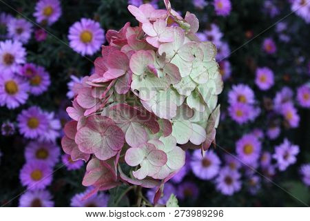 Hydrangea Paniculata, The Panicled Hydrangea In Autumn. Pink Hydrangea With Violet Asters In Backgro