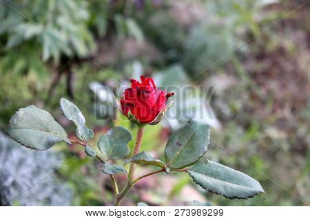 Red Rose Bud In Autumn Garden. Solitaire Rose In Flowerbed To Be Cut. Rose Bush With Only One Rose B