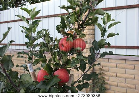 Young Apple Tree With Red Apples. Apple Harvest On The Tree. Apple Tree In The Garden. Red Apples Ha