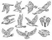 Eagle, hawk and falcon sketches with flying birds of prey. Vector predatory animals hunting or attacking in the air with spreaded wings. Falconry sport, wild nature and wildlife protection theme poster