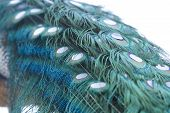 Close up image of an Indian Peacock tail plumage poster