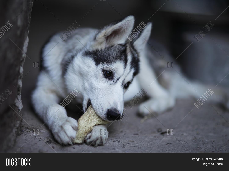 Little Siberian Husky Image Photo Free Trial Bigstock