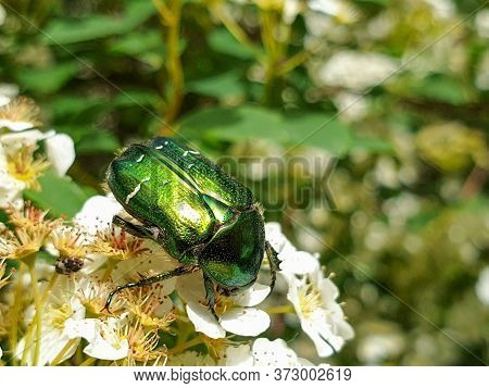 Shiny Metallic Green And Gold Colors Of European Rose Chafer (cetonia Aurata) Or Green Rose Chafer I
