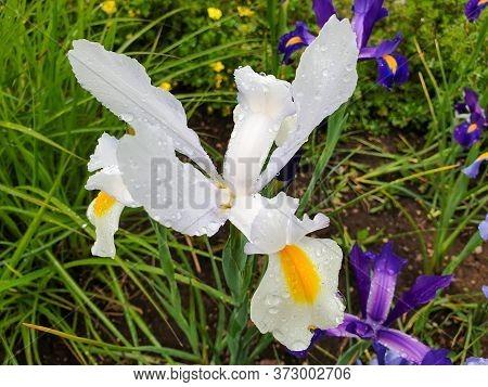 White Iris Flower With Rain Drops In Garden Surrounded By Two Purple Irises. Iris Hollandica