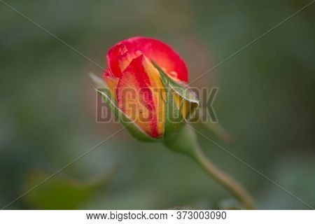 Buds Of Roses With Petals Covered With Rain Drops.\nlarge-flowered Roses Growing In The Garden. A Mo