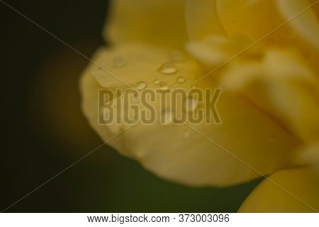 Flowers Of Roses With Petals Covered With Rain Drops.\nlarge-flowered Roses Growing In The Garden. A
