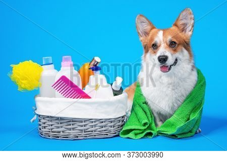 Portrait Welsh Corgi Pembroke Dog With A Box Of Accessories For Bathing Or Grooming Against An Blue