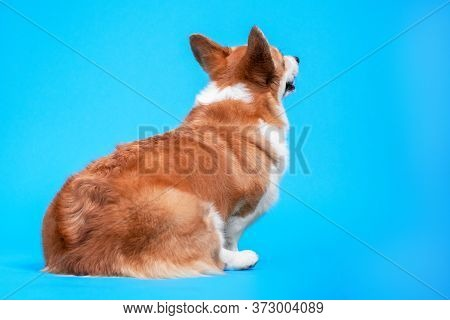 Rear View Back Dog Cute Welsh Corgi Pembroke, Looking Up Over Blue Background.  Touchy And Displease