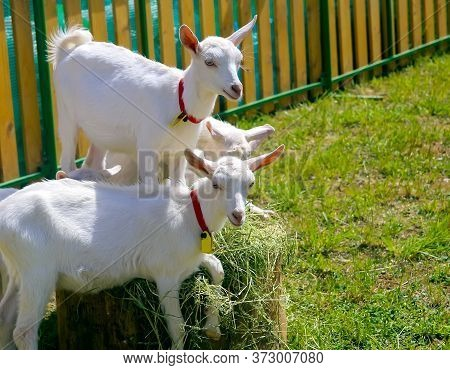 White Goats Frolic In The Paddock On Green Grass