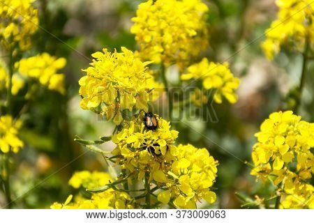Rapeseed Field On A Bright Sunny Day. A Beetle On A Yellow Flower. Summer Landscape With Yellow Flow