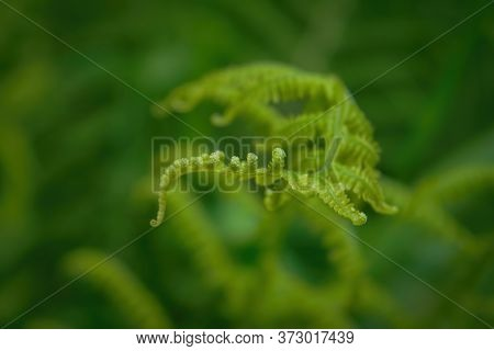 Young Fern Shoots On A Blurred Natural Green Background.