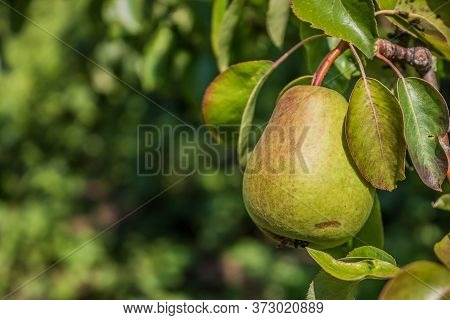 Beautiful Natural Pears Weigh On A Pear Tree, Twigs And Leaves. Healthy Organic Pears. Juicy Flavorf