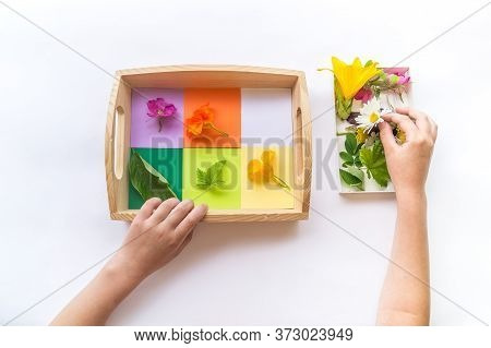 Montessori Material Is Nature Flat Lay. Children Hand Sort The Flower By Color Rainbow