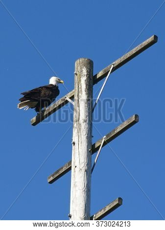 Bald Eagle On The Pole In Sidney Bc