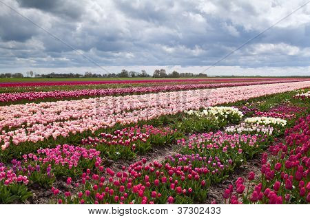 Field With Many Beautiful Tulips