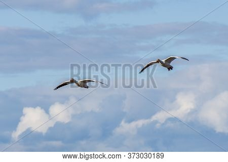 White Snow Goose Flies In The Blue Sky.