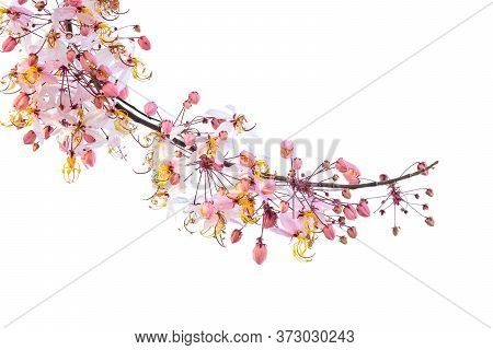 A Branch Of Cassia Bakeriana, Commonly Called Pink Shower Tree, In Full Bloom.  The Tree Is Native O