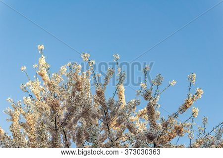 Cherry Blossoms Teree In Full Bloom Spring Time With Blue Sky.