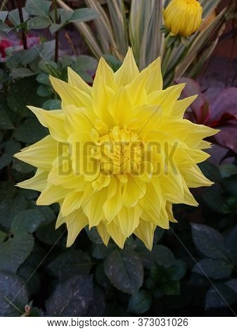 Garden Dahlia Yellow.closeup Of Beautiful Dahlia Flower In Full Bloom In The Garden.yellow Dalia Flo