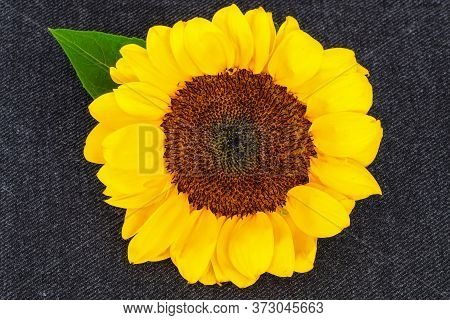 Bright And Beautiful Yellow Sunflower In Full Bloom, Isolated On Dark Background