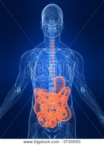 Highlighted Intestines