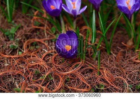 Crocus (plural: Crocuses Or Croci) Is A Genus Of Flowering Plants In The Iris Family. Flowers Close-