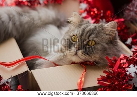 Fluffy Cat In A Box With Decorations For The New Year. New Year's Cat. Beautiful Scottish Furry Cat.