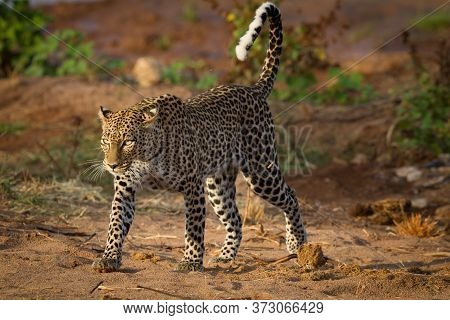 Horizontal Portrait Of A Walking Adult Leopard With A Catch Light In Its Eye And Beautiful Long Whis