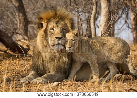 Father And Baby Lion Horizontal Portrait With The Male Lion Lying On Yellow Dry Grass And The Lion C