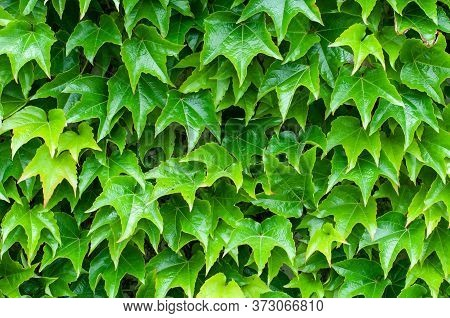 Close-up Of Fresh Green Foliage Of A Climbing Vine On A Wall In Springtime